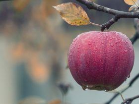Apple Fall Juicy Food Autumn  - mploscar / Pixabay