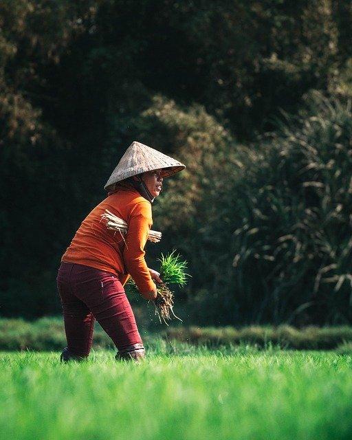 Farmer Agriculture Harvest Vietnam  - kirildobrev / Pixabay